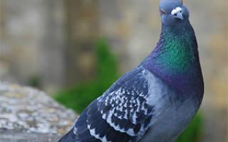 Как убить голубей, которые вам мешают?