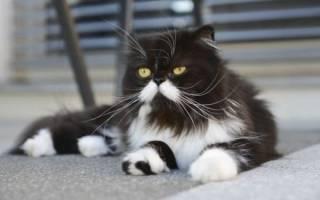 Кот белый с черными пятнами